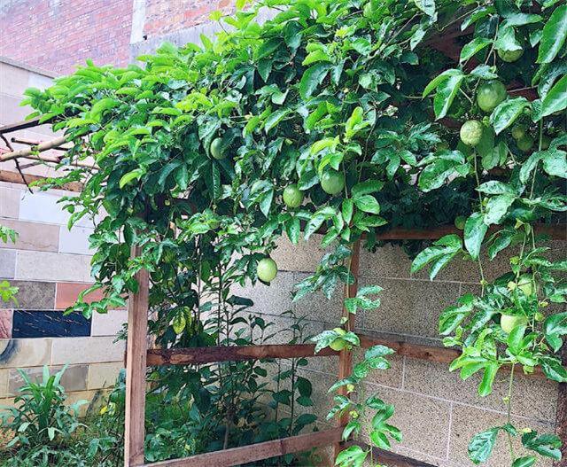 百香果可以在阳台种吗