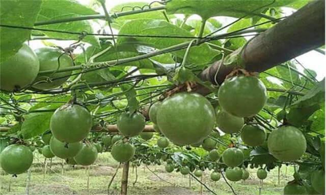 人工如何种植黄金百香果